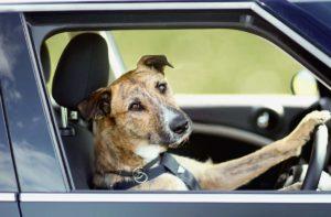 Собака за рулем — Aneknews.ru
